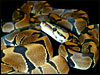 F-1 Banded Ball Pythons I produced in 2001