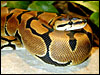 The Sire Banded Ball Python
