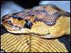 The Clown's head is like no other ball python's head............great name!!