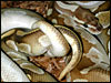 """Original"" male Platinum Ball Python breeding one of his "" Lesser "" daughters for the 2002 breeding season"