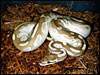 """ Original"" Platinum Ball Python 2002"