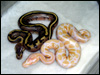 09 stripe poss het albino and albino poss het stripe ( both females )